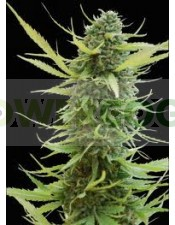 Colombian Gold (World of Seeds) Regular