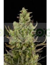 Critical+ Autoflowering Semilla (Dinafem)Critical+ Autoflowering Semilla (Dinafem)
