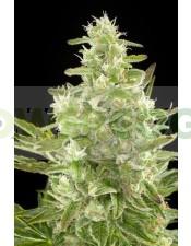 Critical+ Autoflowering Semilla (Dinafem)