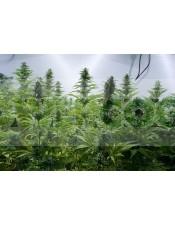 Critical Jack (Dinafem) Semillas de Marihuana Feminizadas