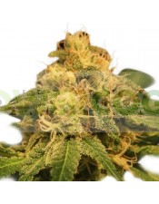 Critical (Royal Queen Seeds) Feminizada