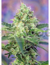 CRYSTAL CANDY® (SWEET SEEDS) (Semillas feminizadas