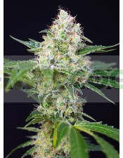 CRYSTAL CANDY® (SWEET SEEDS) (Semillas)
