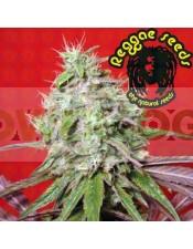 Dancehall (Reggae Seeds) Semilla Regular Marihuana