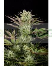 Deep Cheese (Dinafem) Semilla Feminizada Cannabis