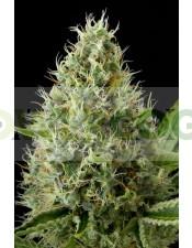 Dinamex (Dinafem) Semilla Feminizada de Marihuana