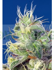 Do-Sweet-Dos Feminizada (Sweet Seeds)