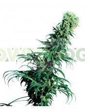 Semillas de Marihuana Early Pearl (Sensi Seeds) Regular