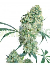 Ed Rosenthal Super Bud ® (Sensi Seeds) Regular