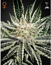 El Niño Feminizada (Green House Seeds)