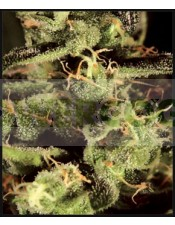 Exodus Cheese (Greeen House) Semilla Cannabis 100% Feminizada