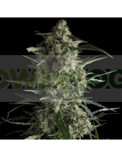 Galaxy (Pyramid Seeds) Semilla Feminizada de Marihuana