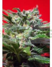 Ganesh Spirit Semilla de Marihuana de Sweet Seeds Feminizada