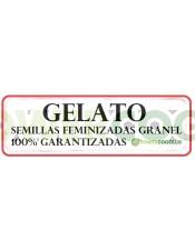 Gelato Semilla Feminizada 100% Granel
