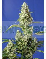Gorilla Girl XL Auto Feminizada (Sweet Seeds)