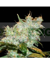 Goxuak Auto (Genehtik Seeds) Semilla Autofloración feminizada Cannabis