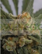 Grapegum (Ripper Seeds) Semilla Cannabis Feminizada
