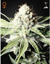 Great White Shark (Green House Seeds)