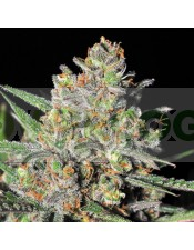 Green Love Potion (Samsara Seeds) Semilla Cannabis Feminizada