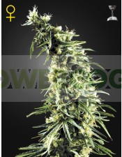 Hawaiian Snow (Green House Seeds)