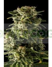 Haze Automatic, la nueva variedad de marihuana autofloreciente de Dinafem,