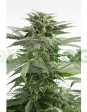 Haze XXL Auto (Dinafem) Semillas Feminizadas de Marihuana