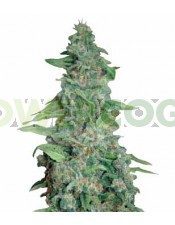 Honey B (Barney´s Farm Seeds)