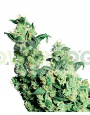 Jack Herer Regular Sensi Seeds