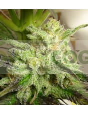 Kali China Feminizada (Ace Seeds)