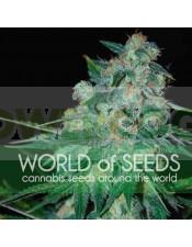 Ketama Feminizada (World of Seeds)
