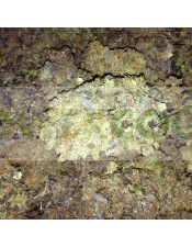 King Kong Five (Mano Verde Seeds) Semilla Feminiza Cannabis-Marihuana