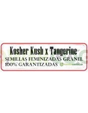 Kosher Kush x Tangerine Feminizada Granel
