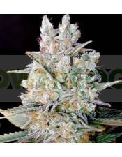 Kritikal Bilbo Auto (Genehtik Seeds) Semilla Autofloración feminizada Cannabis