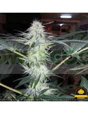 Lagunak Feminizada (Dreams Cannabis Seeds)