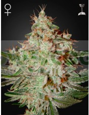 Lemon Skunk (Green House Seeds)