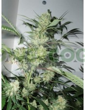 leshaze regular cannabiogen semilla cannabis