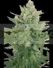 Low Dwarf Automática de SeedMakers Semilla Feminizada Marihuana Barata