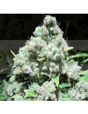 Malakoff (Medical Seeds) Feminizada Semilla Malakoff Feminizada Cannabis cruce de Strawberry Haze x White Widow