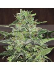 Malawi Feminizada (Ace Seeds)