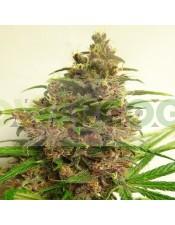 Malawi x PCK Feminizada (ACE Seeds)