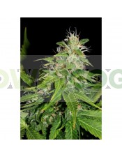 Marley's Tribute (Shaman Genetics) Semilla Feminizada Cannabis