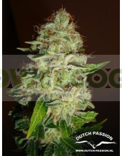 Mazar (Dutch Passion Seeds) Feminizada
