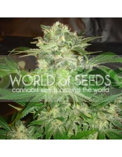 Mazar Kush (World of Seeds) Feminizada