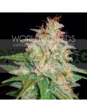 Mazar x White Rhino (World of Seeds) Semilla Cannabis Feminizados Medical Collection