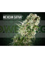 Mexican Sativa Regular (Sensi Seeds)