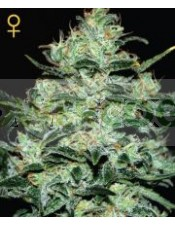 Moby Dick (Green House) Semilla Feminizada Cannabis-Marihuana Moby Dick (Green House)