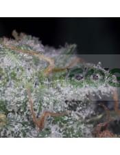 Semilla de Marihuana Nebula (Paradise Seeds)