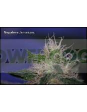 Nepal Jam Feminizada (Ace Seeds)