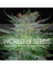New York Special (World of Seeds) Feminizada
