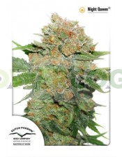Night Queen (Dutch Passion) Cannabis seeds